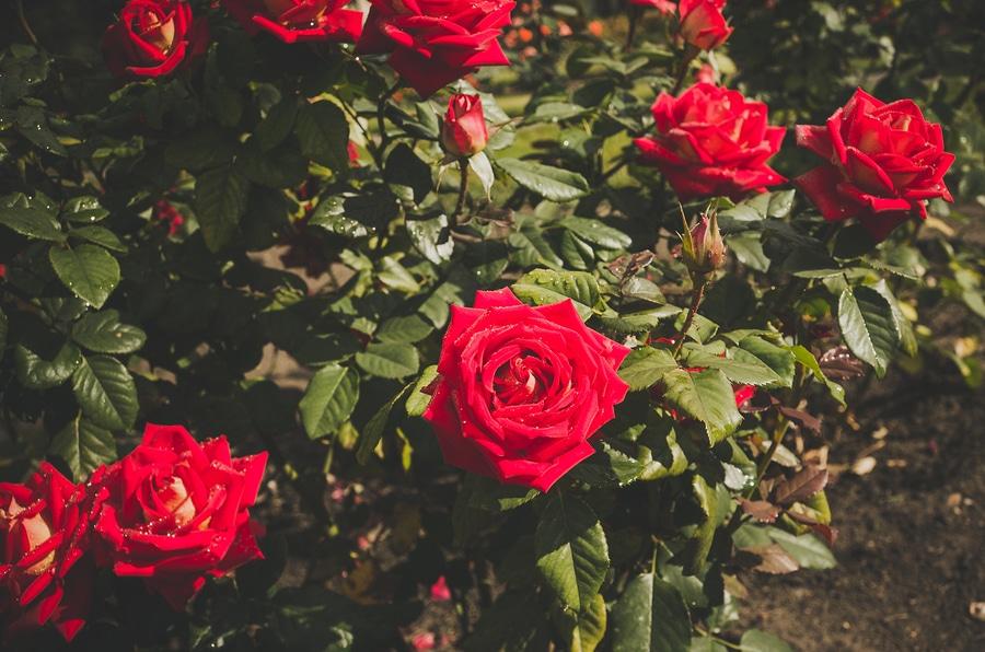 Agua Fria Nursery Santa Fe New Mexico Roses